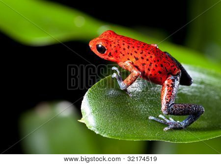 frog red strawberry poison dart frog on border of panama and costa Rica poisonous animal of tropical rainforest