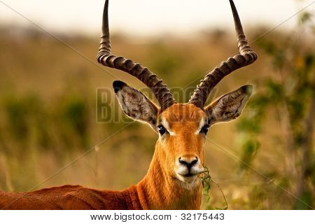 male impala chewing grass