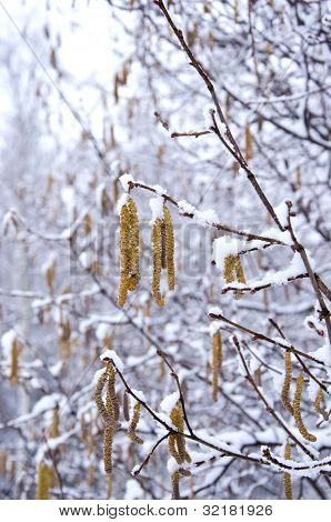 Spring Nutwood Catkins And Snow