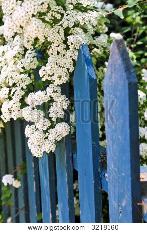 Blue Fence With White Flowers
