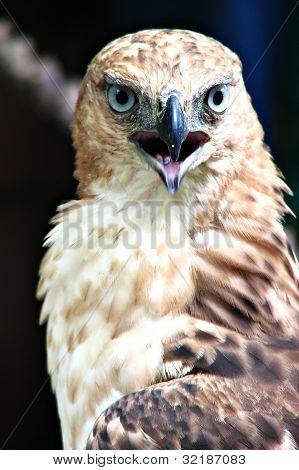 Hawk Eagle Fierce Portrait