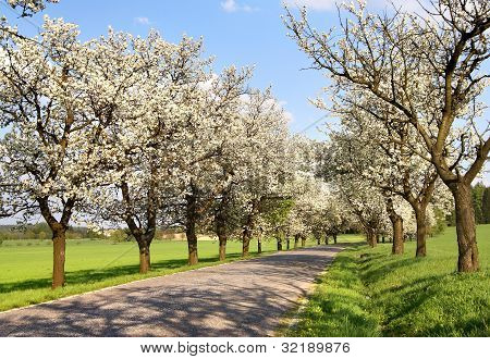 alley of cherry-trees