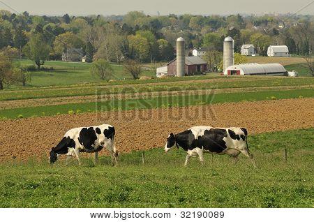 Dairy Cows Farm