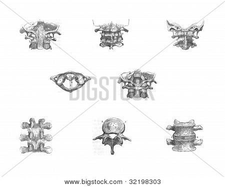 8 Views Of The Spinal Vertebrae