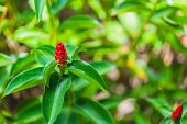 Crape Ginger Flower (costus Speciosus Smith). Other Names: Cane Reed, Malay Ginger, Blooming In The  poster