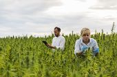 Two People Observing Cbd Hemp Plants On Marijuana Field And Writing Results In Tablet poster