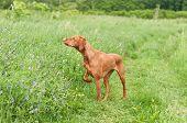 stock photo of vizsla  - A shot of a Vizsla dog  - JPG