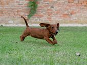 Red-haired Dachshund Runs On A Green Lawn. Dachshund On The Fly poster