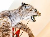 Bad Mounted Feline Animal In Albania, Europe poster