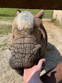 Greater One-horned Rhino Opening Mouth To Eat poster