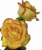 foto of yellow rose  - yellow rose - JPG