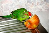 New Zealand Red-crowned Parrot Cyanoramphus Novaezelandiae Pecks Apple. Food And Diet Of Birds In Ca poster