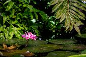 Blossom Nymphaea Red Lotus, Blooming Aquatic Flower Lotus Water Lily In The Rainforest, Horizontal B poster