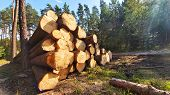 Stack a logs in pine forest. Timber and Firewood as a renewable energy source. Heavy industry. Fuel  poster