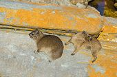 Two Cape Hyraxes (procavia Capensis), Also Known As Rock Hyrax Or Rock Badger, Having Incomplete The poster