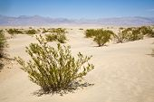 stock photo of geologie  - dried desert grass in Mesquite Flats Sand Dunes in the northern point of the Dead valley in heat made of fine quartz sand - JPG