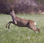 Roe Deer Jumping