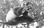 Indri, The Biggest Lemur Of The World, Sitting In A Tree poster