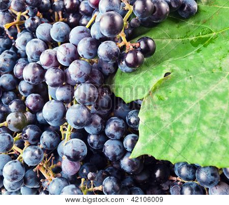 Grapes For Red Wine Manufacturing.