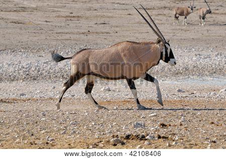 Orix (gemsbok) Running