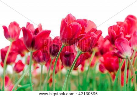 Field Of Beautiful Red Tulips
