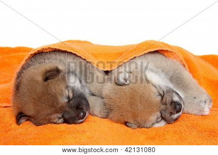 Shibainu Puppies Sleep Under Blanket
