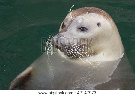 Seal Heads Up
