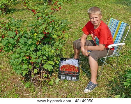 The Guy Picking Red Currants
