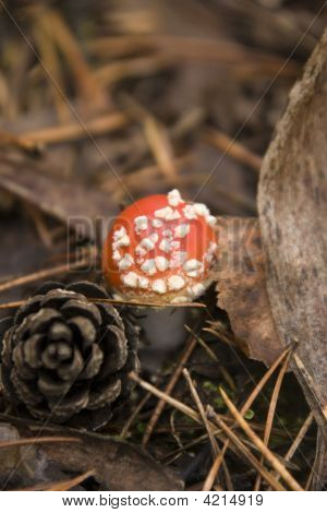 Amanita Muscaria And Pine Cone