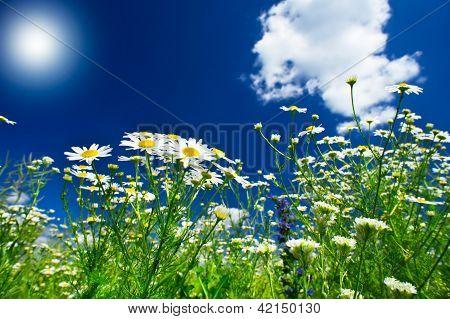 Wonderful Camomiles Against Blue Sky Background.