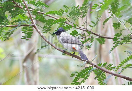 Sooty-headed bulbul Pycnonotus aurigaster