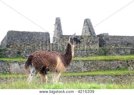 Alpaca At Machu Picchu, Peru
