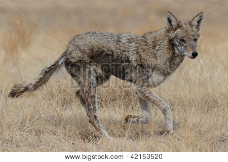 Female Coyote