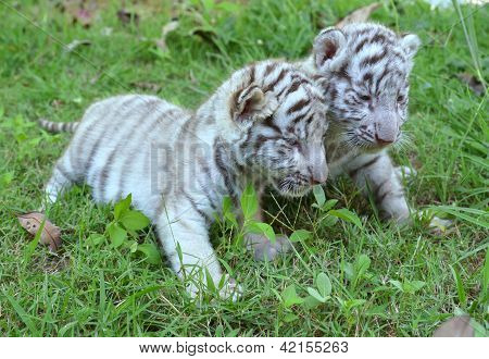 2 Baby White Tiger