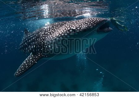 Underwater shoot of a gigantic whale shark with young lady snorkeling behind it (right, near mouth)