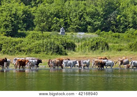 Cow grazing at lake
