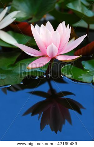 Water Lily Reflection