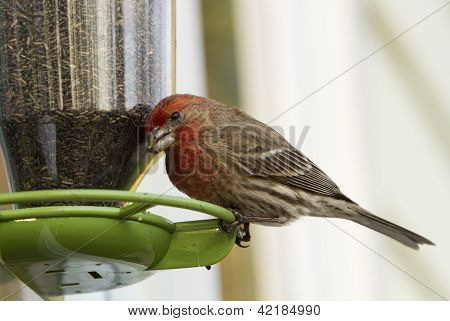 House Finch On Bird Feeder