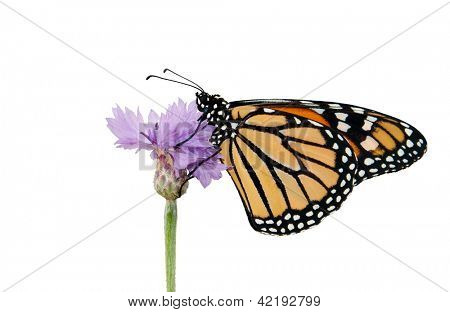 Monarch butterfly resting on a purple Cornflower, isolated on white