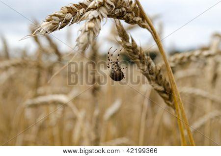 Four-spot Orb-weaver Spider Web Wheat Ears