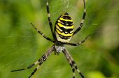 image of spiderwebs  - closeup of wasp spider argiope bruennichi beautiful sit on spyderweb - JPG