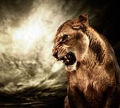stock photo of leo  - Roaring lioness against stormy sky - JPG