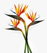 picture of jungle birds  - Bird of Paradise flower isolated over white background - JPG