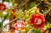pic of cannonball-flower  - Cannonball Tree  - JPG