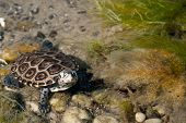 picture of terrapin turtle  - A curious male Diamondback Terrapin in very shallow water - JPG
