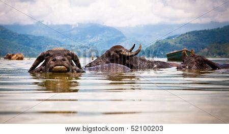 Water buffalos refreshing in Fewa lake , Pokhara, Nepal.