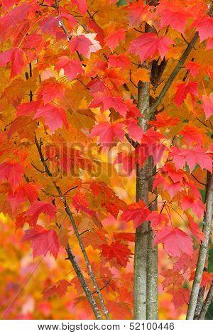 Maple Tree In Autumn Closeup