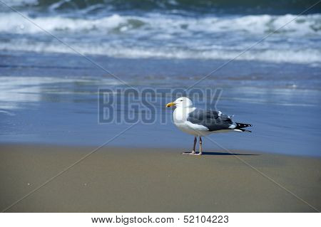 A lonely gull standing on a sea shore
