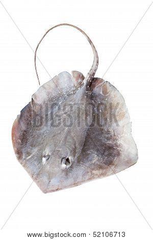 Portrait Of Stingray Isolated On White Background