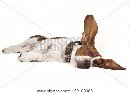 Basset Lifted Ear